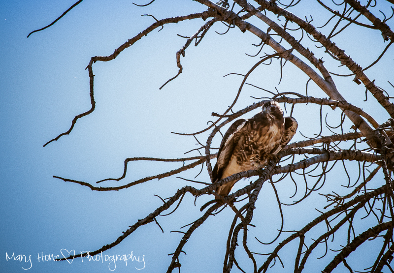 Take all the photos. Hawk in a tree