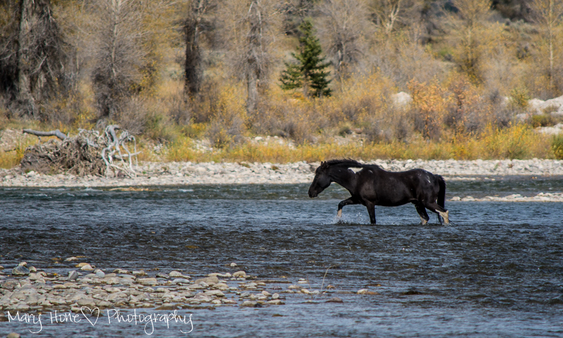 Horse in the river