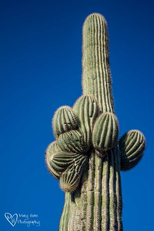 The rhythm of the desert, saguaro cactus