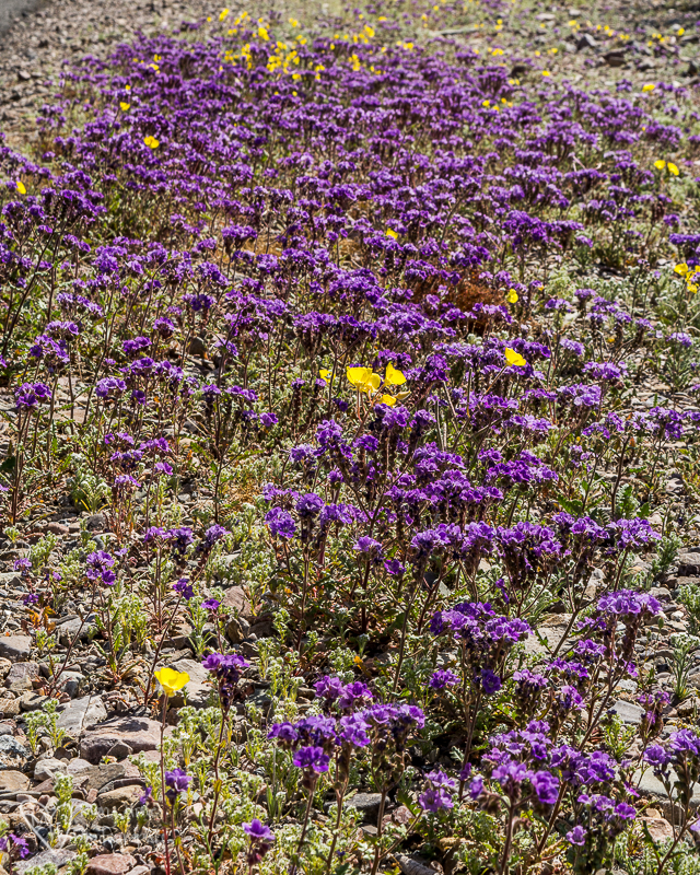 Death Valley Super bloom_-2