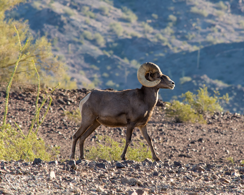 Desert Bighorn Sheep. Arizona