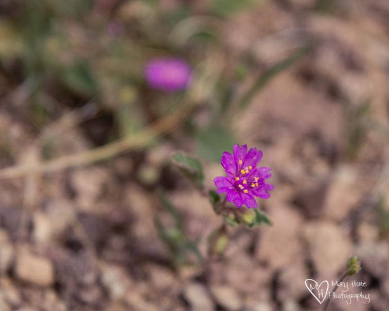 So much color in the desert. Purple desert flower