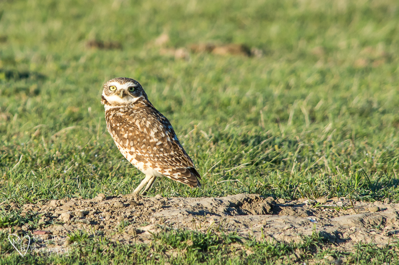 Burrowing owl in Badlands NP