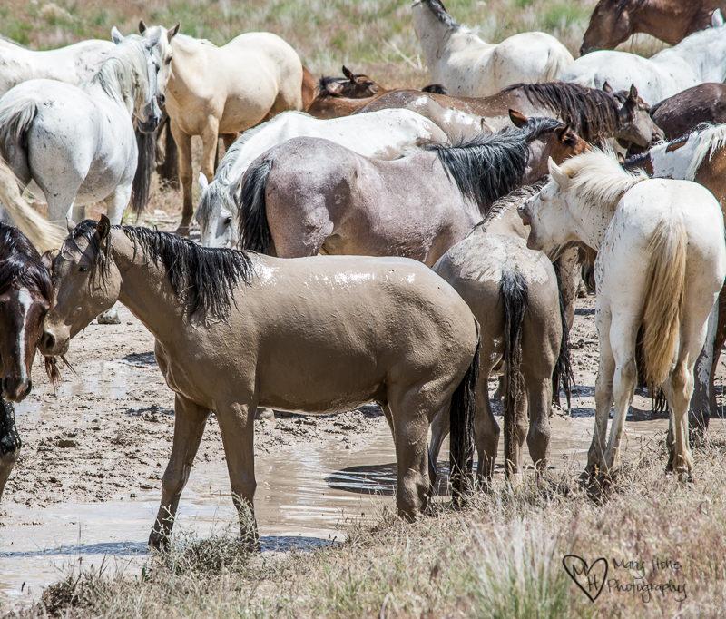 Wild horses in a mud bath