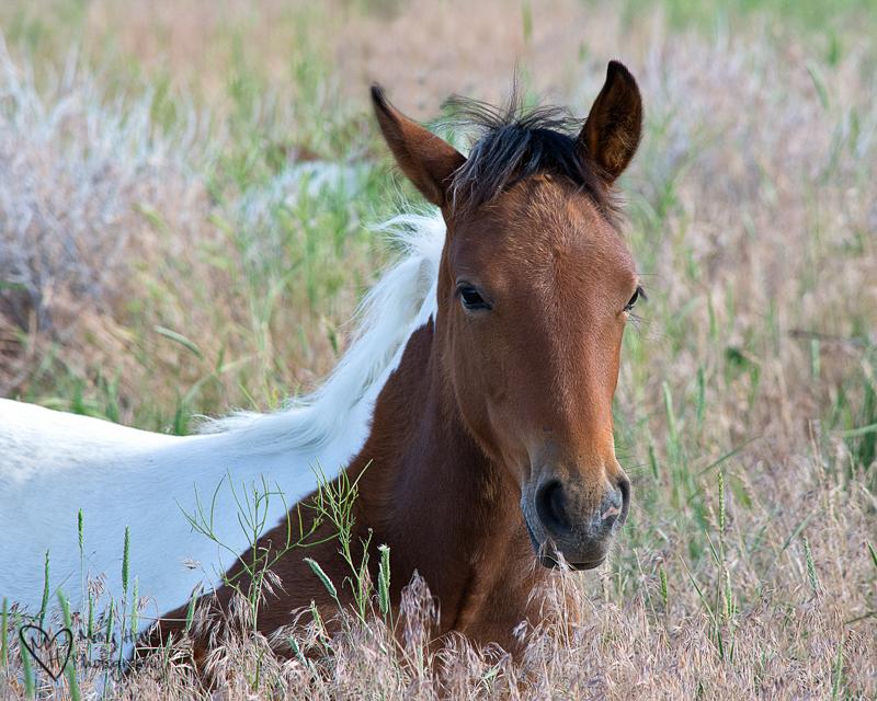 Pinto foal, wild horses