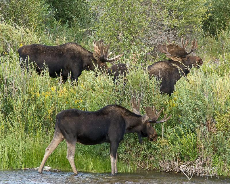 3 bull moose in Wyoming