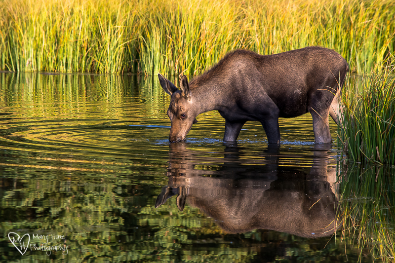 Young moose in the water