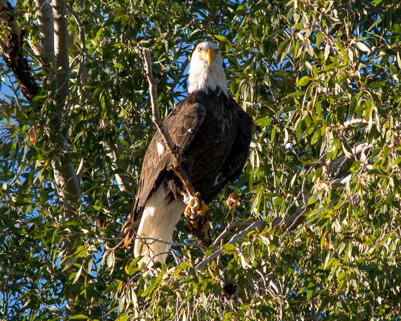 Eagle eye bald eagle