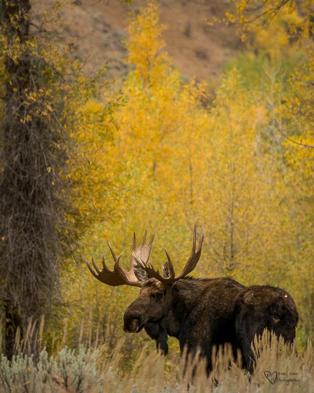 Marvelous Moose Morning