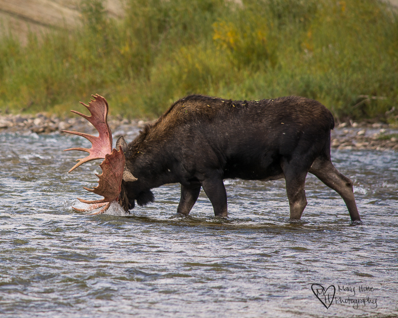 Watching Another Moose Strip his Velvet Covered Antlers. Moose in the river