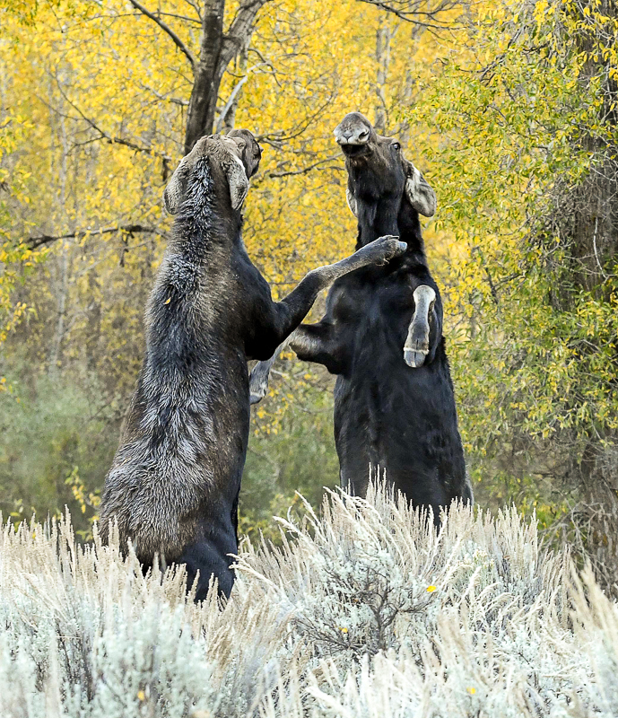female moose fighting