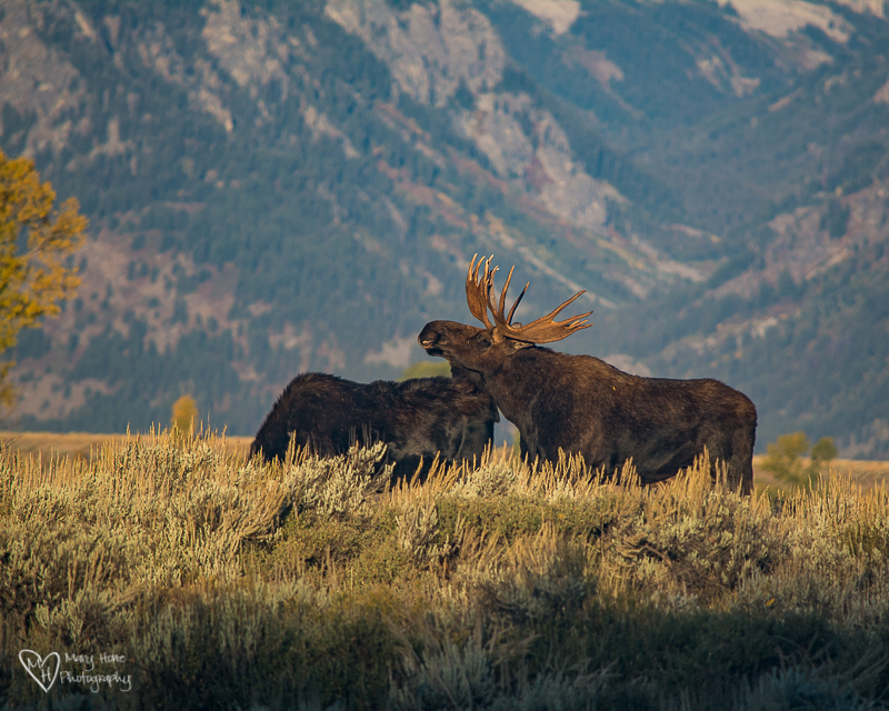 Bull moose and cow. Mating season