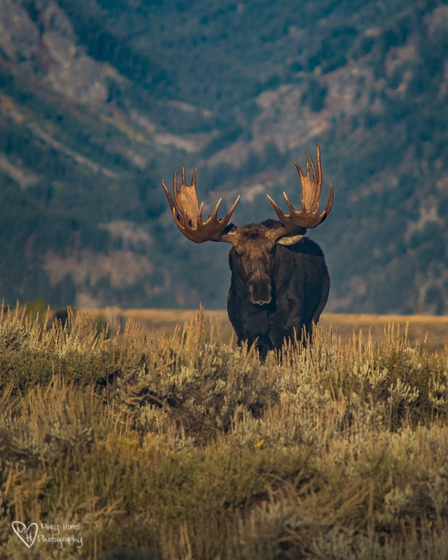 Large bull moose. Mating season