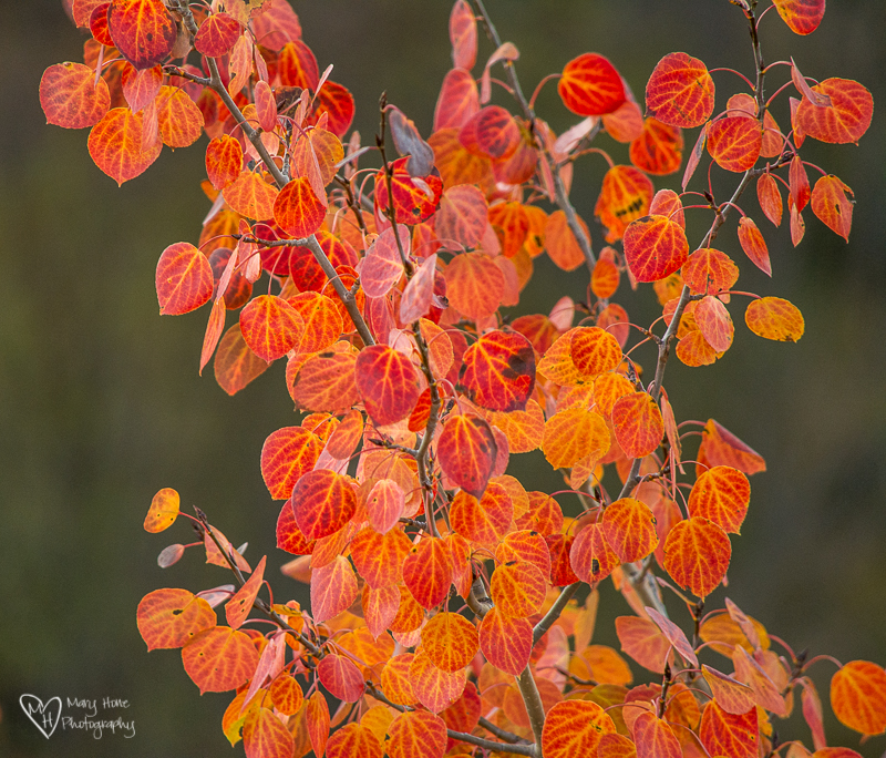 Fall Colors in Wyoming. red aspen leaves