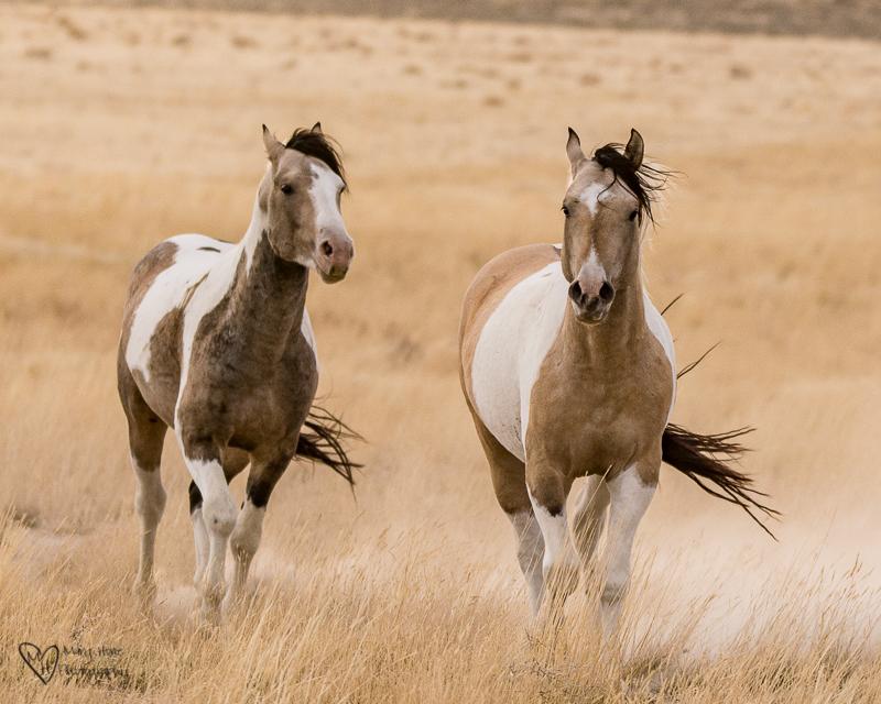 bachelor stallions wild horses