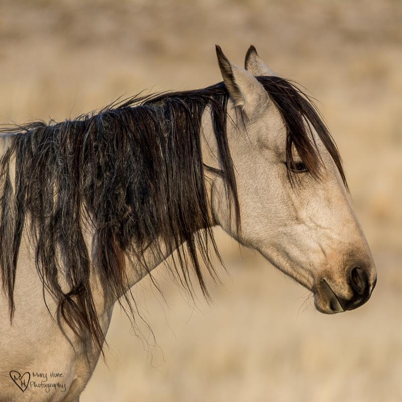 wild horse mare buckskin