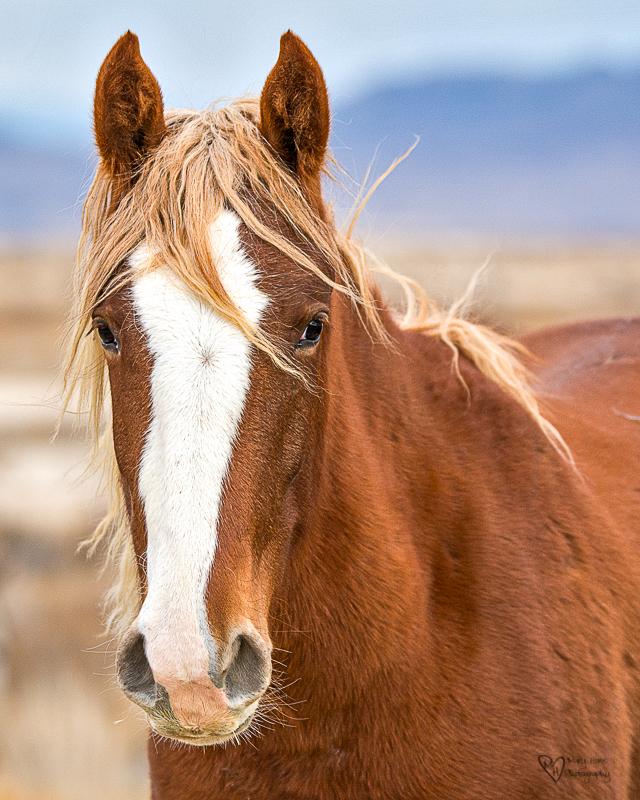 Wild horse with blonde mane