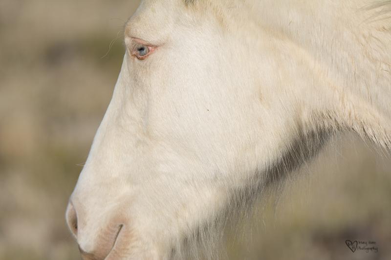 cremello wild horse