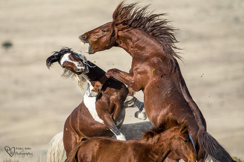fighting wild horse stallions. Wild Horse Freedom