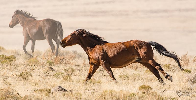 Wild Horse Freedom. wild horses running