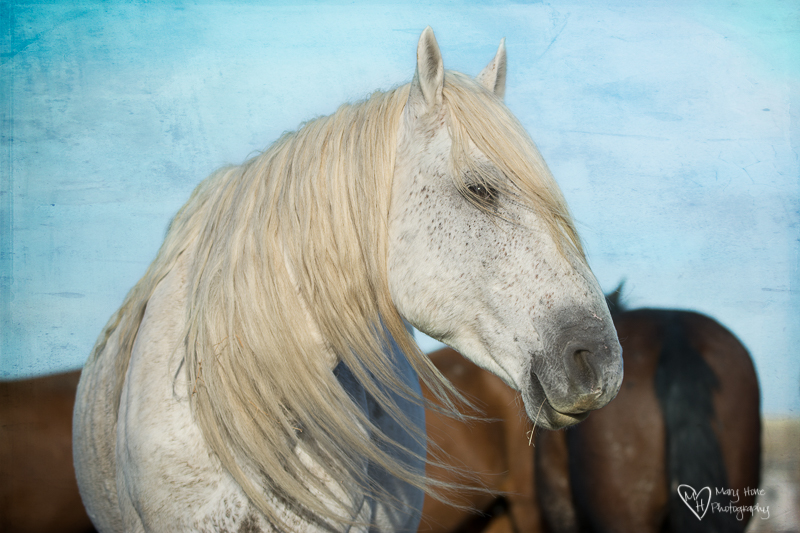 handsome white wild horse stallion, Spending time with Wild Horses