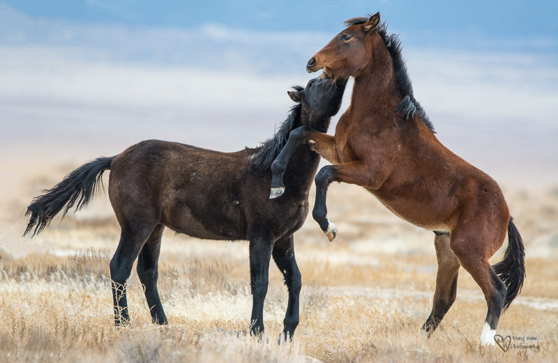 Wild horse colts, fighting