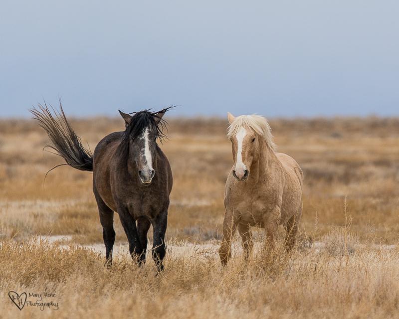 Palomino wild horse