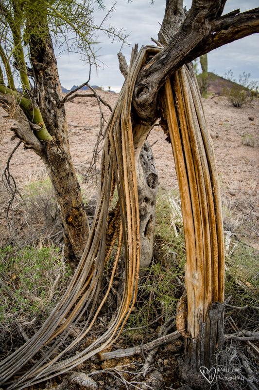 Saguaro draped on a tree