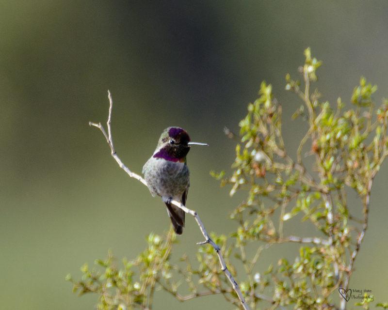 Annas hummingbird in arizona