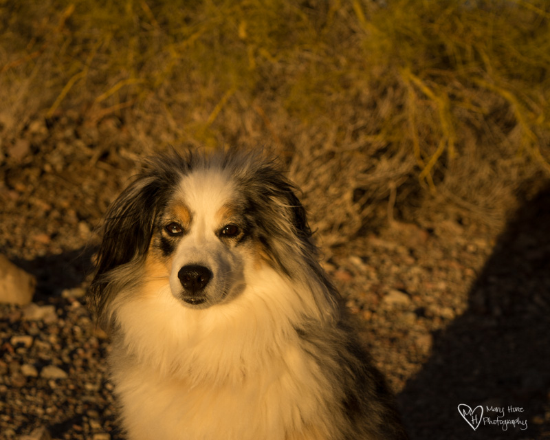 aussie in the golden light