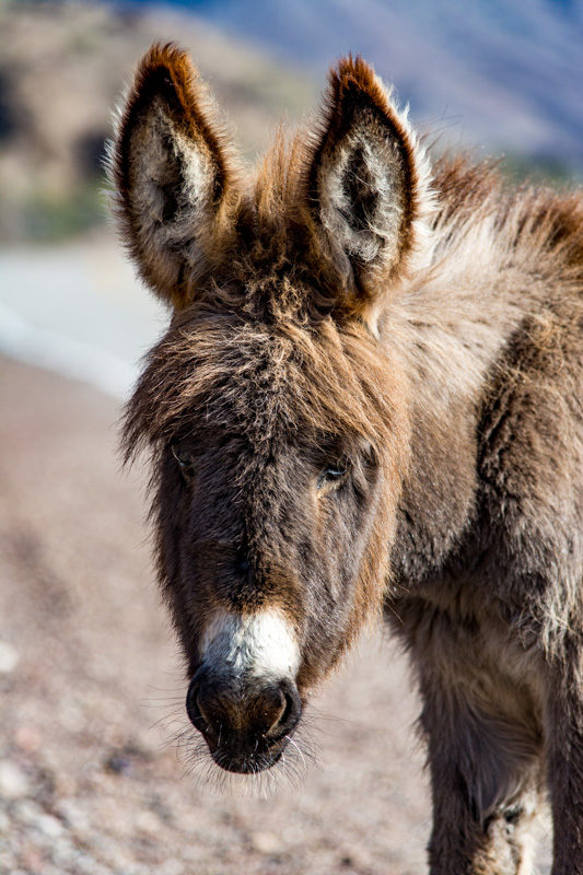 young wild burro with fuzzy face