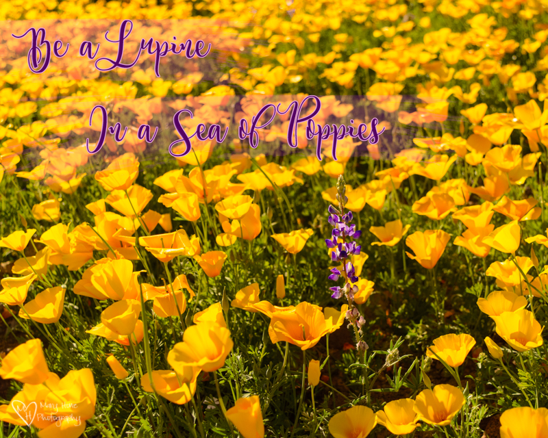 be a lupine in a field of poppies