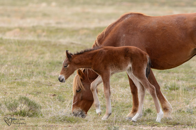 wild horse foal and mom