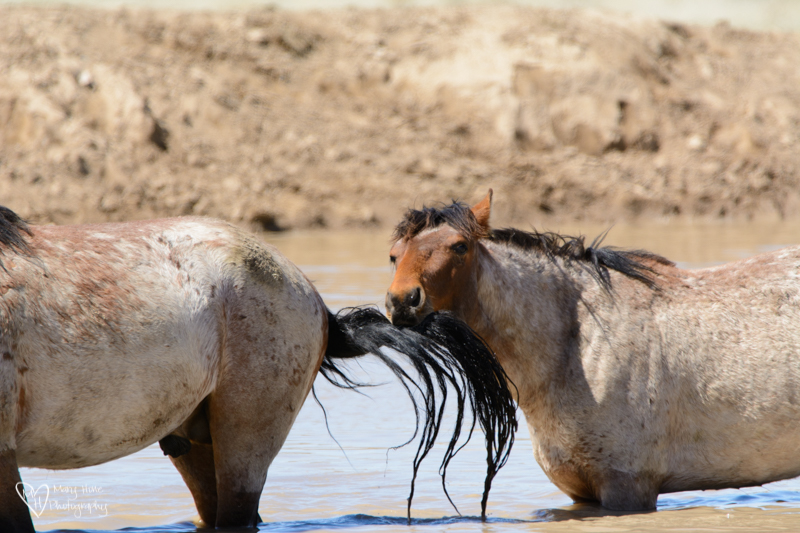 wild horse pulling the tail of another