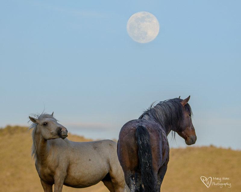 wild horses and the full moon
