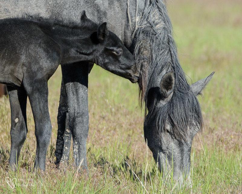 wild mustang foal