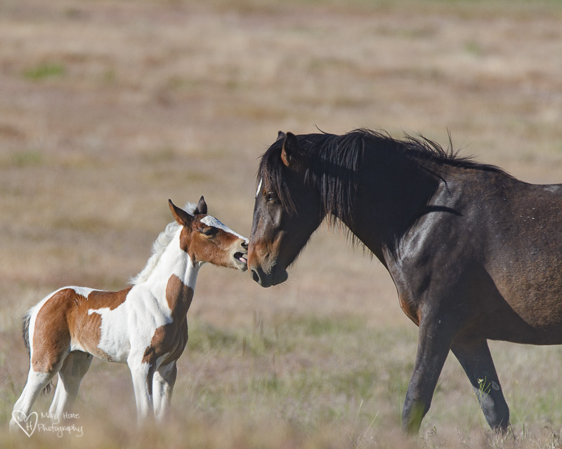 wild horse pinto filly