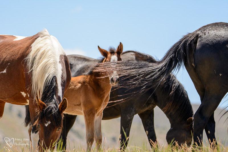 wild horse foal, wild mustangs