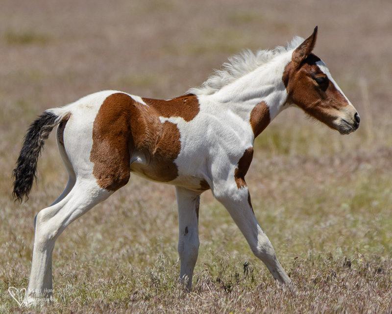 pinto foal wild mustang, Wild Horse Foals