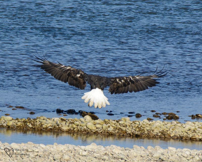 bald eagle in flight, Bald Eagles, and Nesting Osprey in Idaho