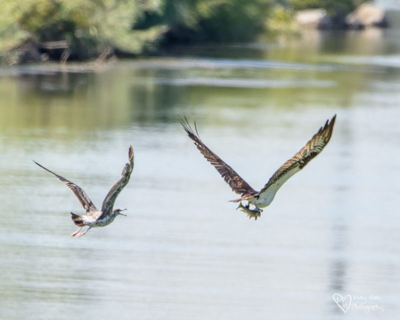 osprey and seagull