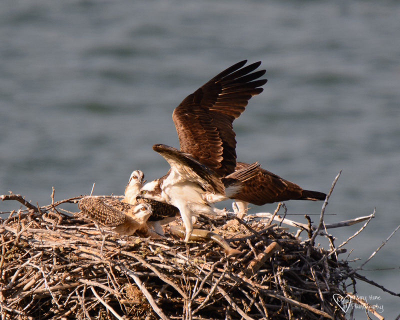 osprey family in nest eating fish