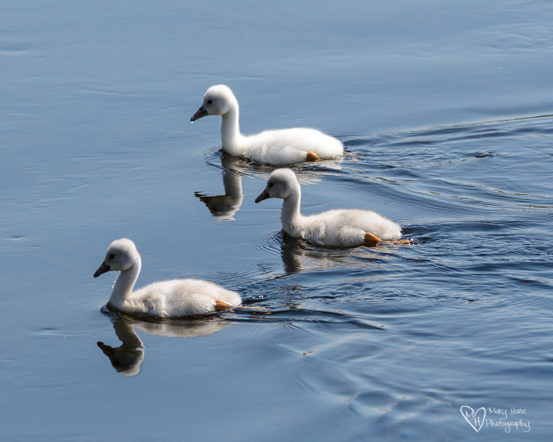 cygnets swimming in wyoming
