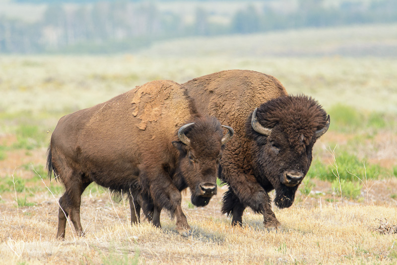pair of bison. Female and male