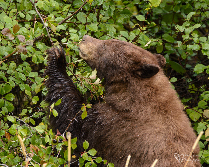 It's a Bear Eat Berry World, bear eating berries