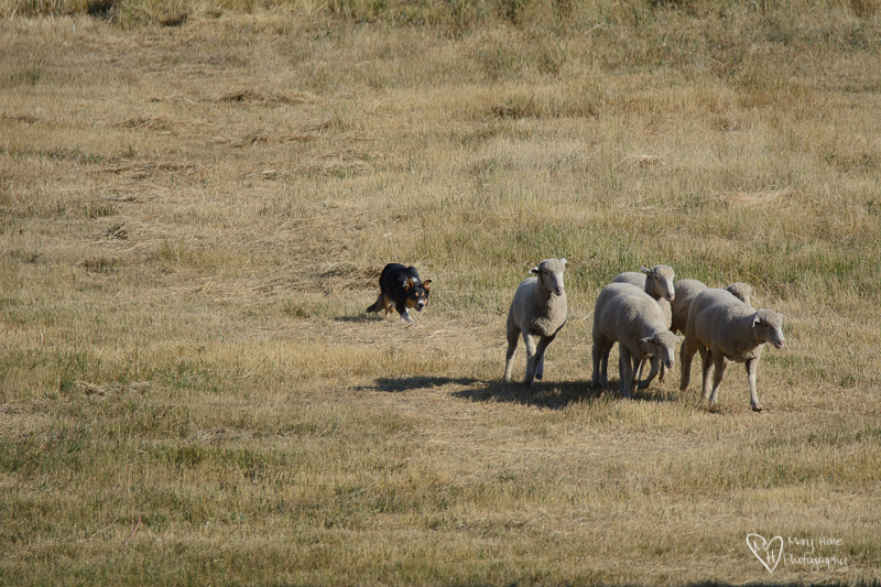 Soldier Hollow Sheep Dog Trials