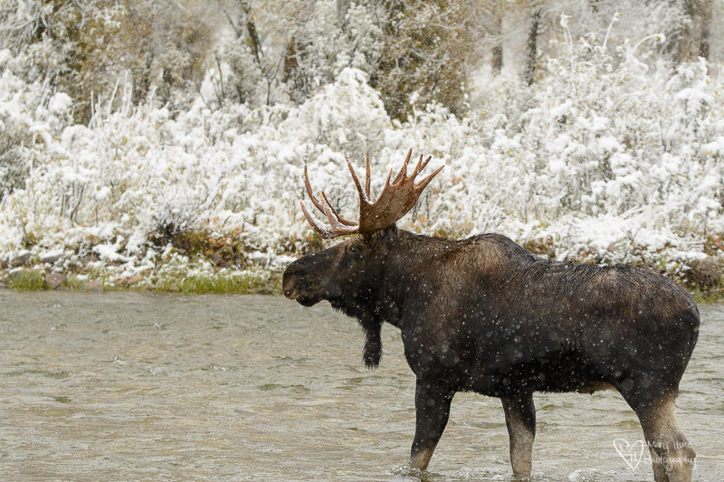 Moose in the Snow crossing a river