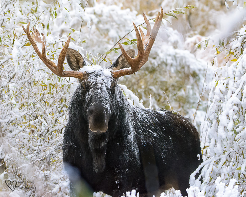Moose in the Snow
