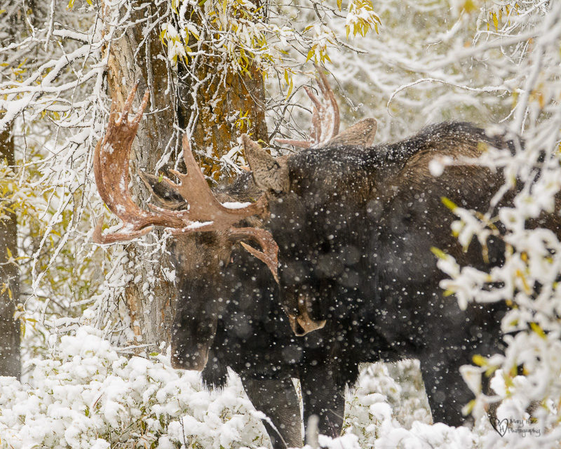 Moose in the Snow sparring