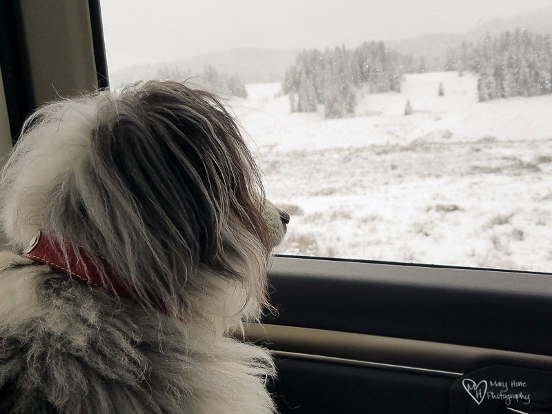dog looking out truck window